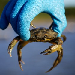 Coastal classroom: Bath students learn about invasive crabs