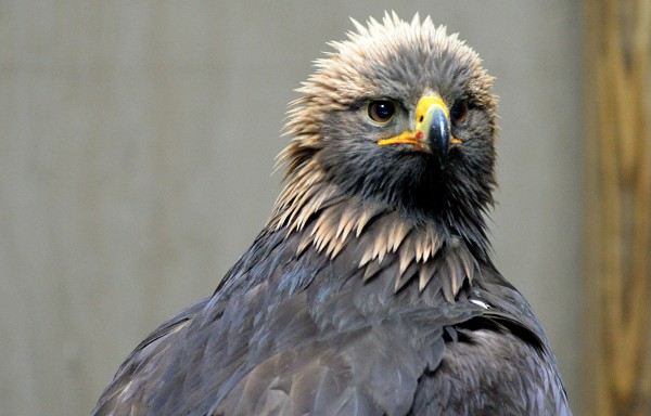 A golden eagle suffering from lead poisoning is being rehabilitated at Avian Haven, a nonprofit wild bird rehabilitation center, in Freedom.