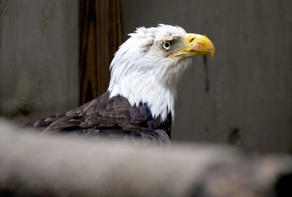 A mature bald eagle suffering from lead poisoning is being rehabilitated at Avian Haven, a nonprofit wild bird rehabilitation center, in Freedom.