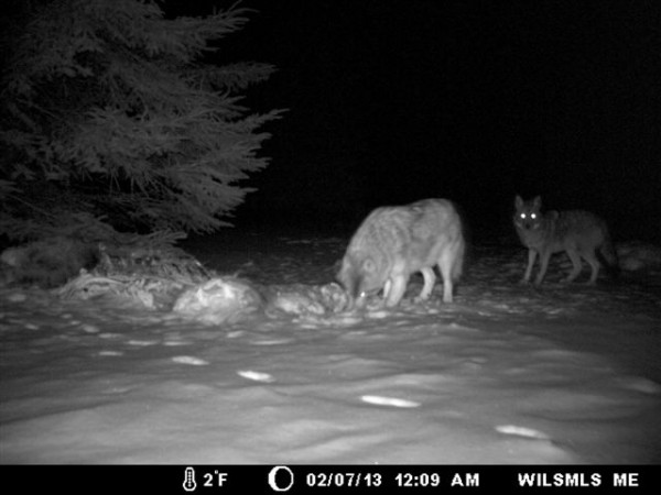 These canids were photographed with a trail camera in the vicinity of Wilsons Mills in February 2013. A state wildlife biologist says the animal on the right is a coyote while the larger animal on the left showed &quotsome wolf characteristics.&quot