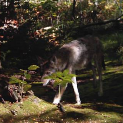 "This photograph of a wolflike animal purportedly was taken in the Gorham area in October. However, a state wildlife biologist, while agreeing the animal resembles a wolf, is ""very skeptical"" the scene was photographed in that part of Maine during the fall, suggesting - because of the vegetation and plant matter - that the locale looks more like Oregon."