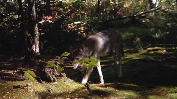 This photograph of a wolflike animal purportedly was taken in the Gorham area in October. However, a state wildlife biologist, while agreeing the animal resembles a wolf, is &quotvery skeptical&quot the scene was photographed in that part of Maine during the fall, suggesting - because of the vegetation and plant matter - that the locale looks more like Oregon.
