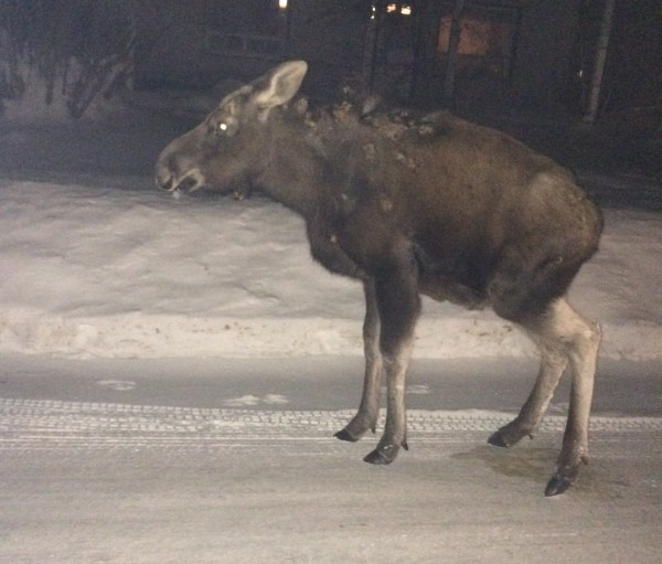 The Maine Warden Service and the Caribou Police Department are asking the public to stay away from a moose that has been hanging around the city for several days. Officials ask people not to touch or feed the moose, captured on camera earlier this month on Vesta Drive in Caribou, so that it might return to the wild.