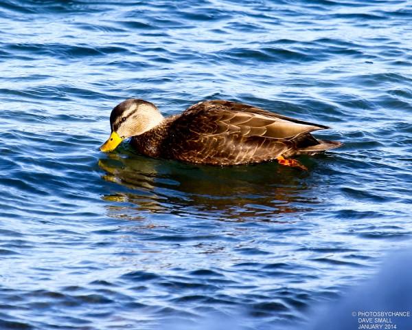 American black duck.