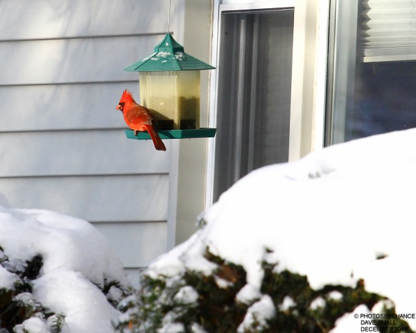 A cardinal stops by for some seed.