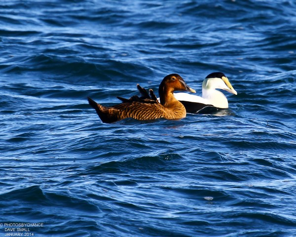 Male and female common eiders.