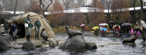 Despite a December drizzle, visitors to the Central Park Zoo watch as keepers feed the California seal lions. This exhibit is a major attraction at the zoo in the heart of Manhattan.