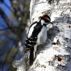 Male hairy woodpecker.