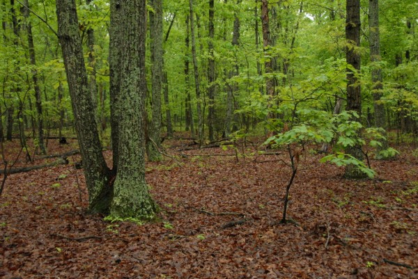 Spring growth limits sight distance in The Wilderness, a central Virginia forest where Confederate and Union armies fought a savage battle in early May 1864. Brush and thickets severely hampered soldiers' abilities to maneuver; thick gun smoke and spreading forest fires almost blinded soldiers trying to see friends only 20 to 30 feet away.