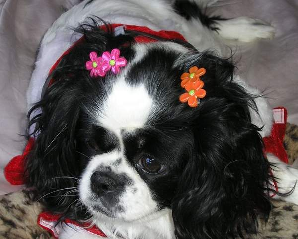 Tilly, a 7-year-old Japanese Chin suffering from bladder issues, has been saved from euthanization by an animal clinic worker and an adoption agency.
