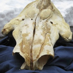 Canadians, Americans indicted in narwhal tusk smuggling plot