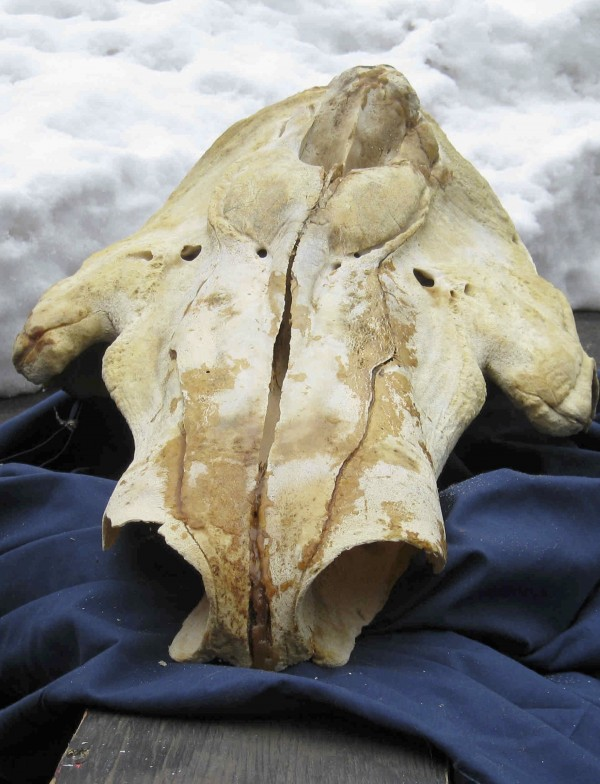 A forensic scientist with the U.S. Fish & Wildlife Service showed the cranium of a narwhal whale seized in February 2010 at the home of Andrew Zarauskas in Union, N.J., to jurors in U.S. District Court in Bangor, Maine.