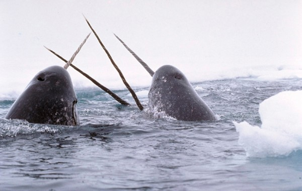In this file photo, Narwhals breach the water.