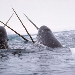 Two men plead not guilty to smuggling narwhal tusks into U.S.