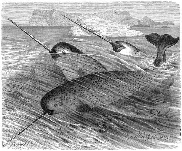 An illustration of Narwhals from &quotLife of Animals Part 1, Chapter 12: Sirens, Chapter 13: Walvisch-like&quot by AE Brehm.