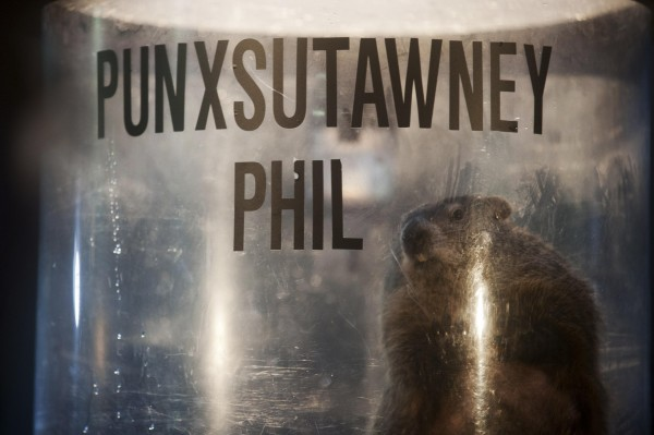 Groundhog Punxsutawney Phil peers out of his enclosure onstage after his annual weather prediction on Gobbler's Knob on the 128th Groundhog Day in Punxsutawney, Pa., on Sunday.