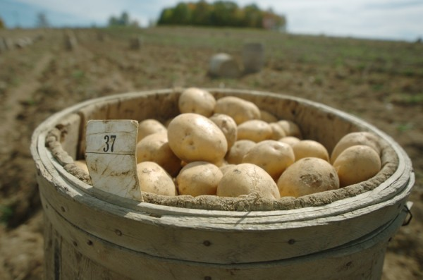 A barrel of handpicked potatoes in Aroostook County in 2007.