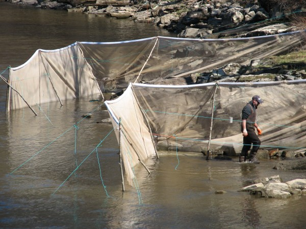 Elver fishermen Rob Stanley of Gouldsboro works on setting up one of two fyke nets he has in the Union River in downtown Ellsworth in this April 2013 file photo.