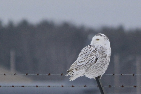 A snowy owl perches on the fence surrounding Bangor International Airport on Feb. 13, 2014.
