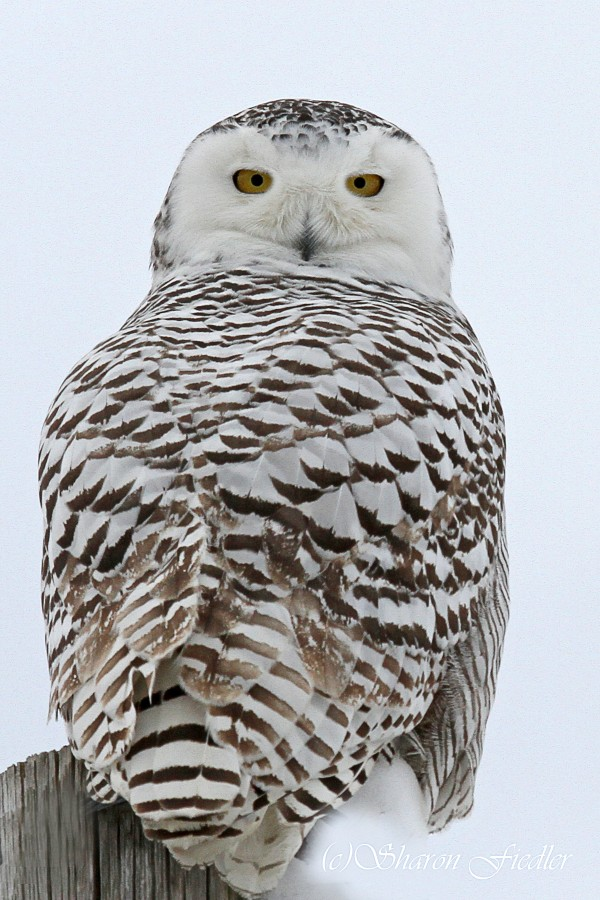 A snowy owl turns to face photographer Sharon Fiedler of Bangor while hunting at Biddeford Pool on Jan. 20, 2014.