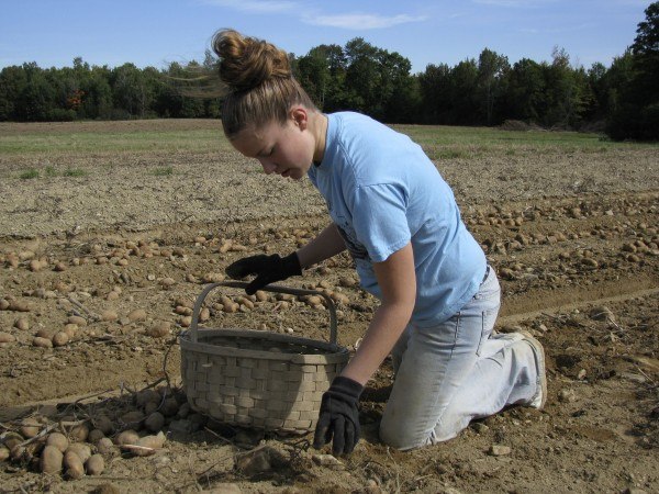 In this December 2008 file photo, Ashlee Wood of Westfield picks potatoes at Dan Stewart's Farm in Presque Isle. RSU 39 recently voted for Caribou-area schools to get a harvest break starting this fall.