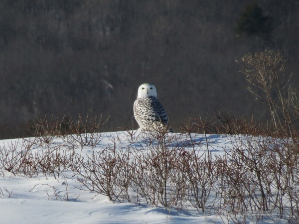 A snowy owl sits in the snow on Jan. 5, 2014, on Beech Hill in Rockport.