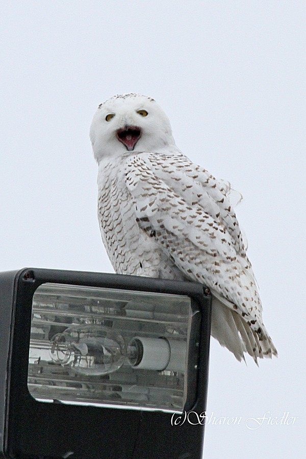 A snowy owl sits on a light at the Hancock County-Bar Harbor Airport in Jan. 18, 2014.
