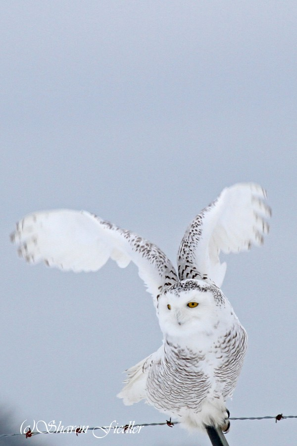 A snowy owl takes flight from its perch on the fence surrounding Bangor International Airport in Feb. 13, 2014.