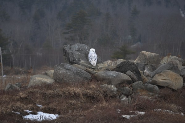 A snowy owl sits among a pile of boulders on Clarry Hill in Union in January 2014.