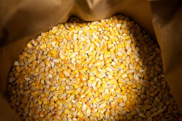 Yellow corn grown in New England is the main ingredient in the tortillas made at Tortilleria Pachanga in Portland. Owner Lynne Rowe plans on advancing to heritage flint corn such as Abenaki Rose as her business progresses.