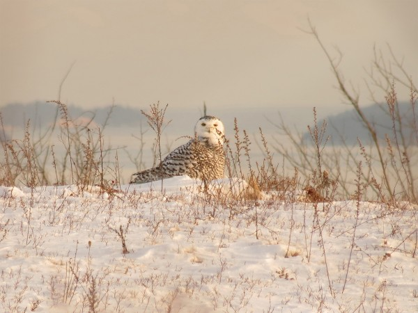 A snowy owl sits in the snow on Jan. 21, 2014, on Beech Hill in Rockport.