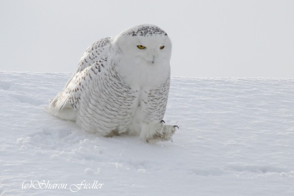 A snowy owl moves across the roof of a building near Biddeford Pool on Jan. 20, 2014.