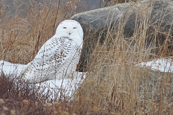 A snowy owl sits on Clarry Hill in Union in January 2014.
