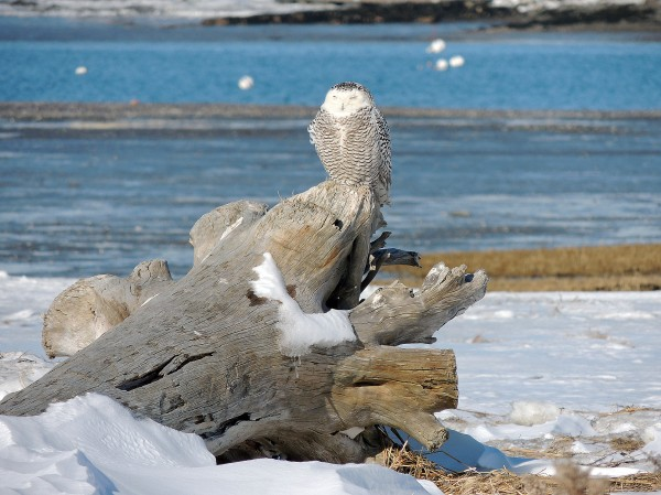 A snowy owl perches on a piece of driftwood on Feb. 8, 2014, at Biddeford Pool.
