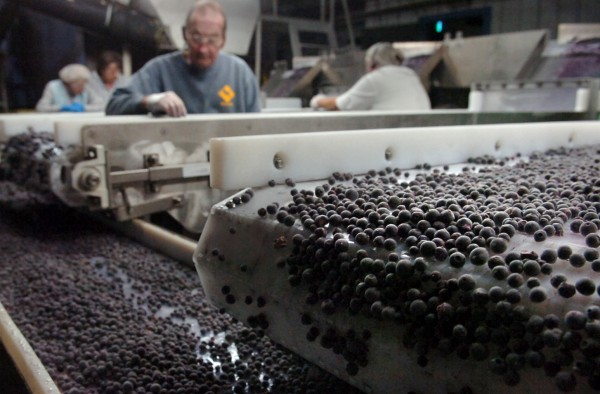 After they are flash frozen, blueberries are sorted through a final time by workers at G. M. Allen and Son, Inc. to discard any small, bruised, or discolored berries in order to ensure a quality product in this Aug.14, 2009 photo.