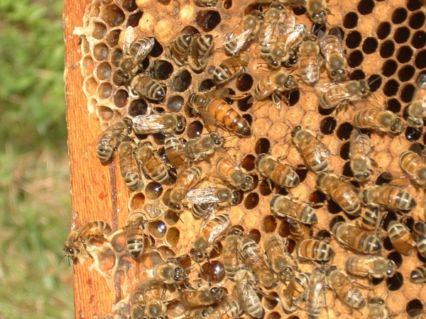 The queen bee and workers on a comb of brood.