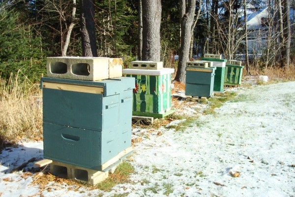 Hives in a sunny location are painted dark colors to absorb the heat of the sun.