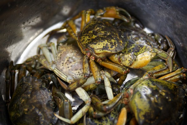Green crabs sit in a pot before being cooked at a press conference in Brunswick Feb. 6.