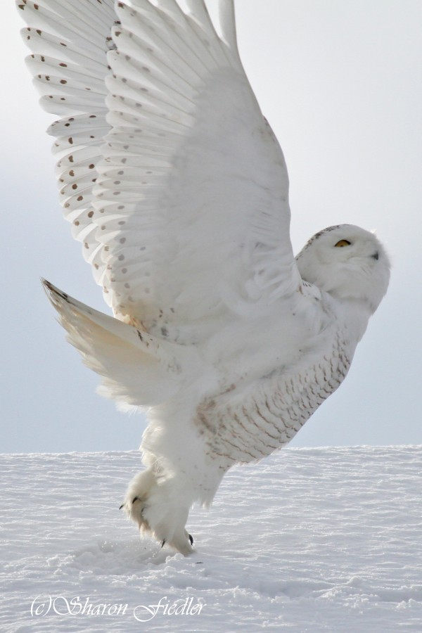 A snowy owl launches into the sky at Biddeford Pool in southern Maine on Jan. 20, 2014.