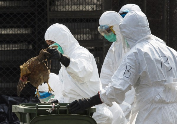 A health worker removes a dead chicken at a wholesale poultry market in Hong Kong in this January 2014 file photo. Hong Kong began culling 20,000 chickens and suspended imports of fresh poultry from mainland China for 21 days on Jan. 28 after the discovery of the H7N9 bird flu virus in a batch of live chicken from the southern province of Guangdong.