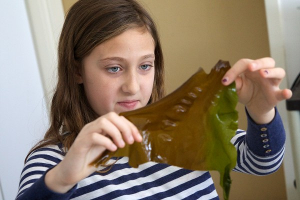 Ava Peloquin, a fourth grader at Portland's East End Community School, examines a piece of sugar kelp on Wednesday. Students spent time learning about and tasting seaweed as part of a program to expand offerings of locally sourced food in the school's cafeteria.