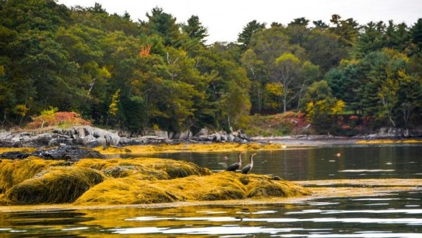 Cormorants perch on a seaweed-covered rock on the shore of Clapboard Island last fall. The groups Friends of Clapboard Island and Maine Coast Heritage Trust are trying to acquire the northern half of the island for conservation and public use and are seeking contributions from the town and others for the $1.4 million purchase.