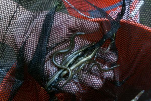Glenn Bernard of Presque Isle fingers through his elver catch last May.