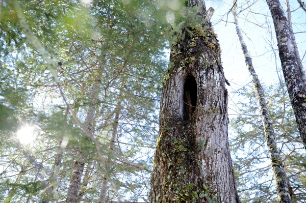 A view of the hole 15 feet up a tree where a 2-year-old black bear entered to make her den for the winter. She crawled to the bottom of the inside of the tree to hibernate.