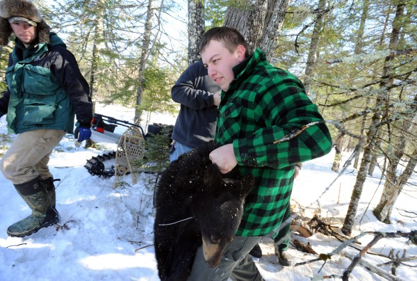 Justin Sutherland, a recent graduate of Unity College in conservation law enforcement, carries an 83-pound, 2-year-old female black bear from her den to a blanket where wildlife students will examine her and place a new GPS collar on her.