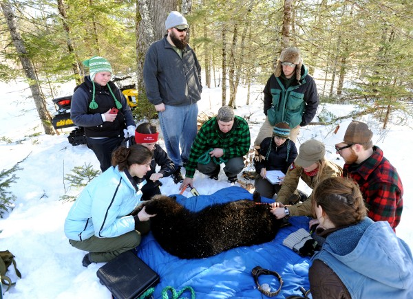 Maine Department of Inland Fisheries and Wildlife biology technician Lisa Bates (right) examines a 2-year-old female black bear with wildlife students from Unity College on Saturday. The bear received a new GPS radio collar, was weighed, measured, tattooed and examined. As part of the Unity College Bear Study, which the school participates in with DIF&W, about a dozen wildlife students participated on Saturday. The bear weighed in at 83 pounds.