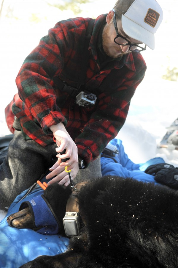 Unity College student Jonah Gula, who has been keeping track of this 2-year-old female black bear since fall, attaches a new GPS radio collar around her neck Saturday after DIF&W biology technicians removed her from her tree den on Saturday.