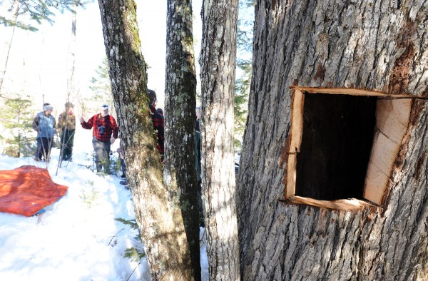A 2-year-old black bear hibernates inside of this hollowed out tree in Unity. Maine Department of Inland Fisheries and Wildlife biology technician Jake Feener cut a hole in the tree to pull the bear out so it could be examined and have a collar attached.