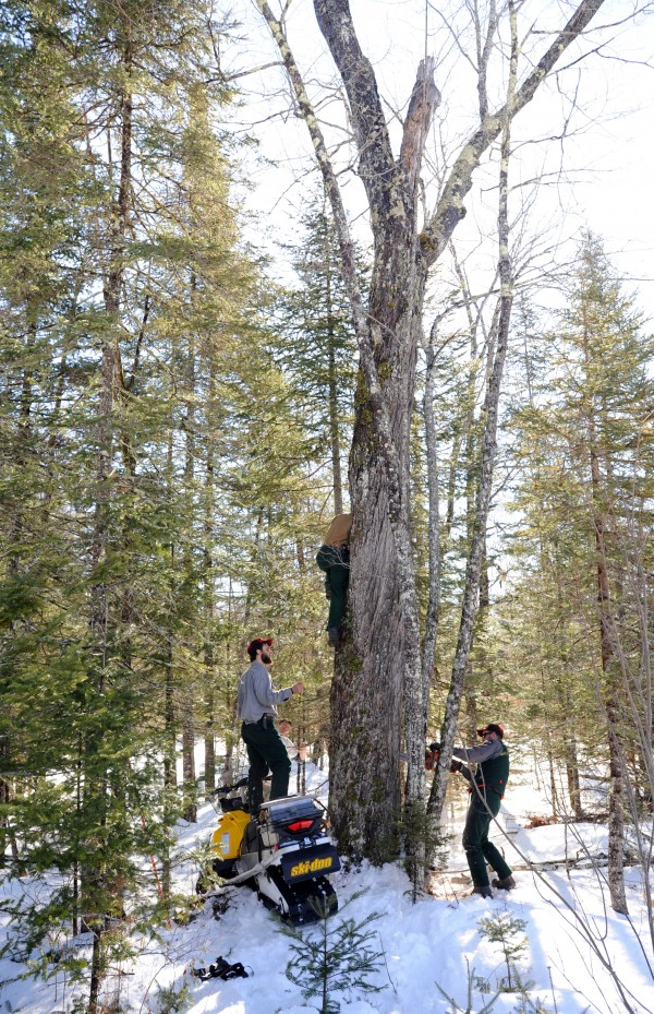 Maine Department of Inland Fisheries and Wildlife biology technicians Mitch Jackman (left), Lisa Bates (in tree) and Jake Feener (right) prepare to remove a 2-year-old female black bear from her tree den in Unity to put a new GPS collar on her and also check her health. The bear made her den in a hollowed out tree for the winter. Bates looks in the hole of the tree to see how far down the bear is. Feener (right) cuts an opening near the bottom of the tree where the bear is sleeping so she can be pulled out. About a dozen wildlife students participated Saturday in the Unity College Bear Study, which is conducted with the DIF&W.