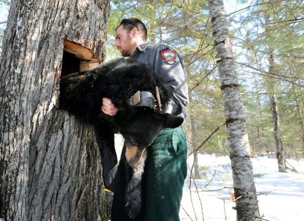After putting a new GPS collar on her and recording her health stats, Maine Department of Inland Fisheries and Wildlife biology technician Jake Feener puts a 2-year-old female black bear back into her tree den in Unity on Saturday.